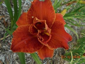 Daylily-Moses Fire