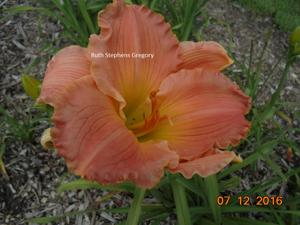 Daylily-Ruth Stephens Gregory