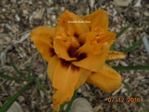 Daylily-Double Bold One