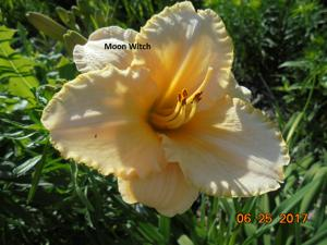 Daylily-Moon Witch