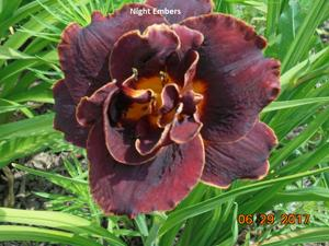 Daylily-Night Embers