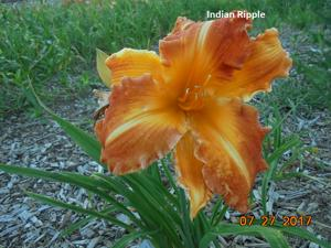 Daylily-Indian Ripple
