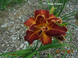 Daylily-Party Crasher