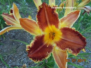 Daylily-Heavenly Bombshell