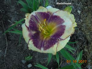 Daylily-Blackthorne