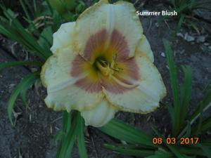 Daylily-Summer Blush