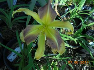 Daylily-Apple Swirl
