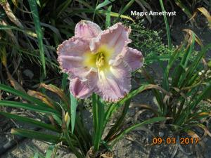 Daylily-Magic Amethyst
