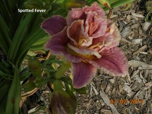 Daylily-Spotted Fever