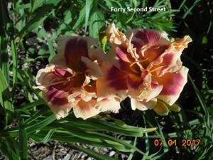 Daylily-Forty Second Street