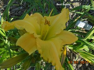 Daylily-Best Buddy