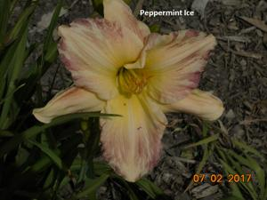 Daylily-Peppermint Ice