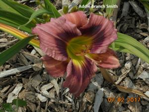 Daylily-Addie Branch Smith