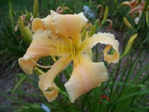 Daylily-Developing Story