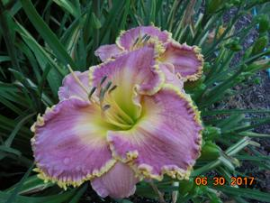 Daylily-Day After Yesterday