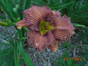 Daylily-Nowhere to Hide