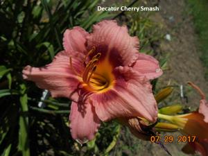Daylily-Decatur Cherry Smash